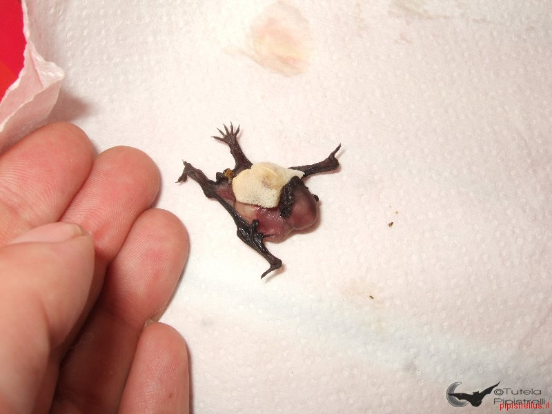 Pipistrello albolimbato (Pipistrellus kuhlii)