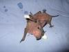Molosso di Cestoni (Tadarida teniotis)