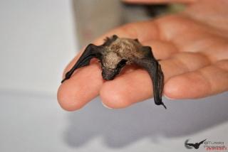cucciolo di pipistrello di savi (Hypsugo savii)