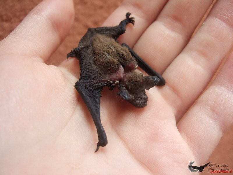 Pipistrellus kuhlii alimentato scorrettamente