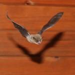 Pipistrellus kuhlii in volo