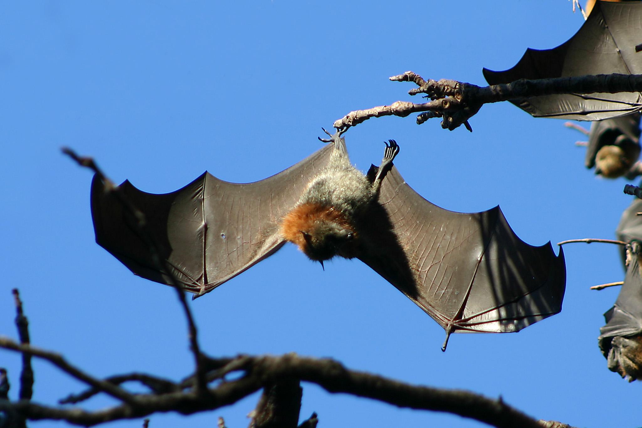 Pipistrelli ed Ebola. Non dobbiamo temere nulla