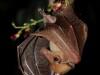 I pipistrelli Frugivori Ecolocalizzano?
