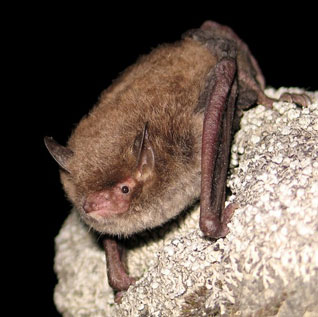 I pipistrelli rispettano il codice della strada