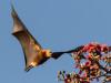 Mauritius, il governo vuole sterminare i pipistrelli