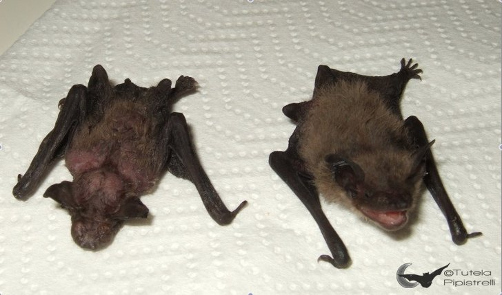 Pipistrellus kuhlii alimentato scorrettamente VS alimentazione corretta