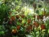 Il pipistrello che usa le piante carnivore come toilet e riparo