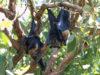 Australia, il caldo fa strage di volpi volanti