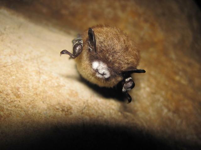 Sindrome del naso bianco, i pipistrelli si stanno riprendendo